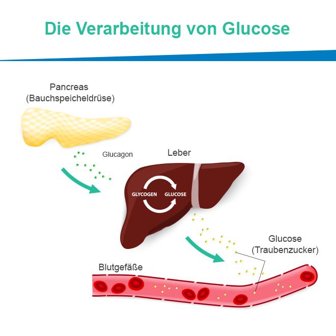 Wie wird die Glukose verarbeitet?