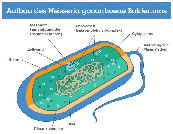 """das Bakterium """"Neisseria gonorrhoeae"""""""